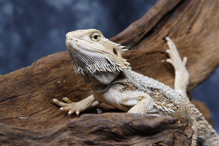 Animaux de compagnie : les dragons barbus sont porteurs de bactéries.