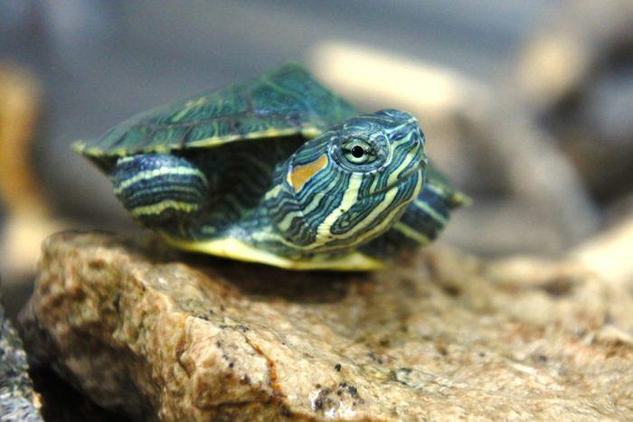 Animaux de compagnie : les petites tortues sont porteuses de maladies.