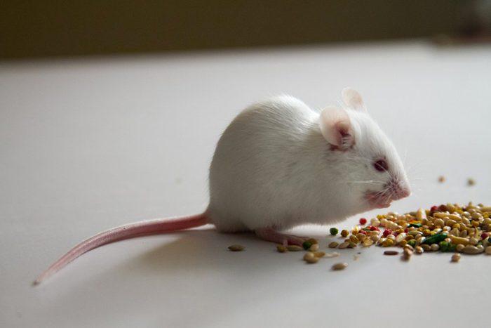Animaux de compagnie : les souris sont porteuses de virus.