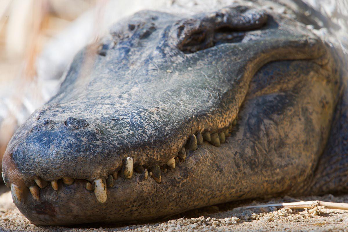 Espèces menacées : Alligator américain