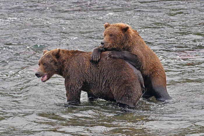 Espèces menacées : Grizzly