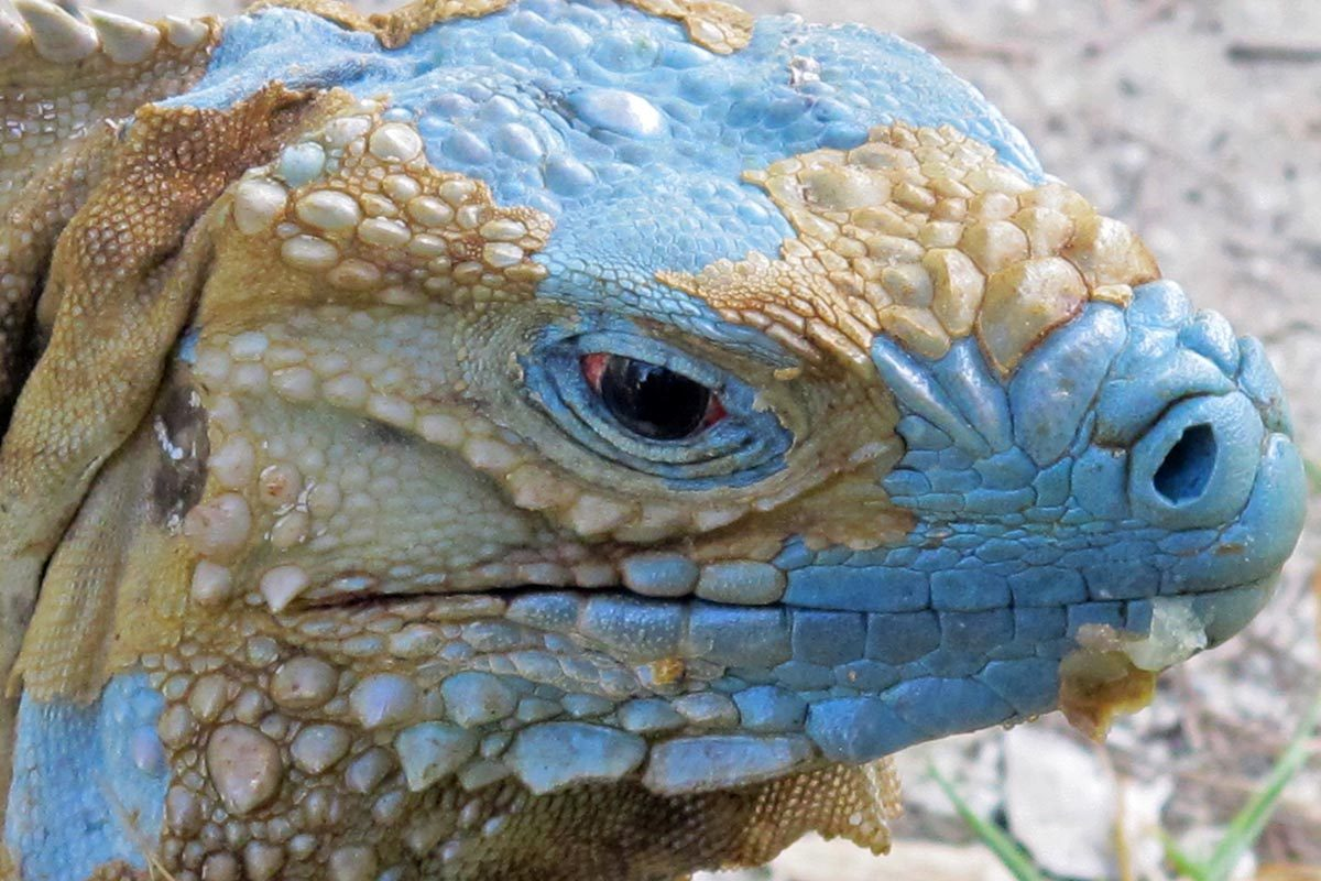 Espèces menacées : Iguane bleu