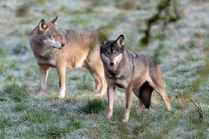 Espèces menacées : Loup gris