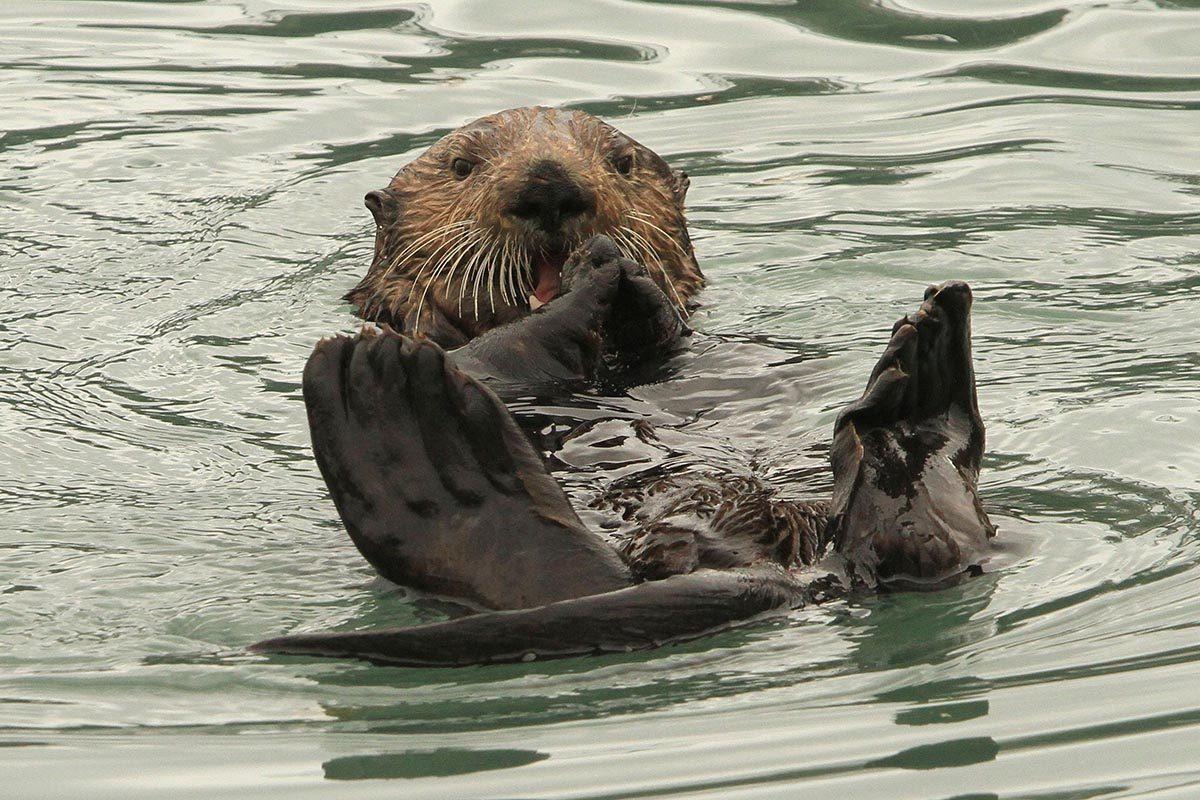 Espèces menacées : Loutre de mer