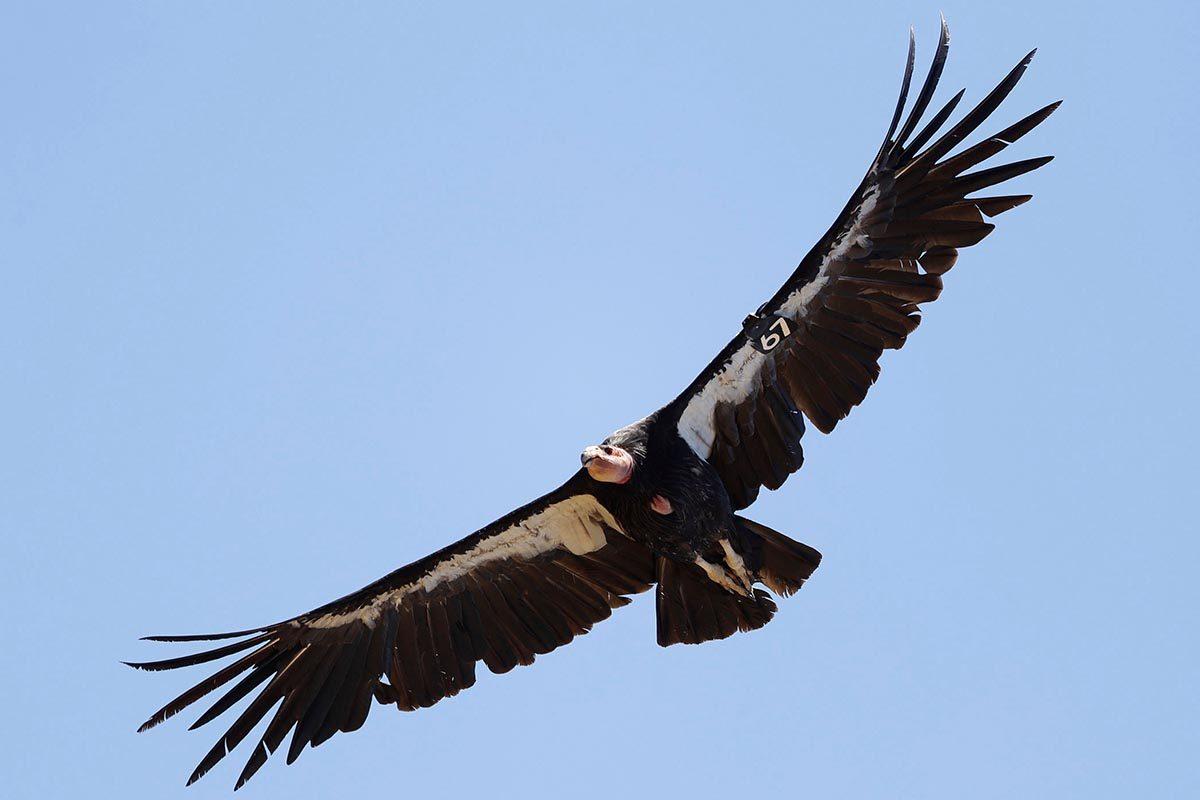 Espèces menacées : Condor de Californie