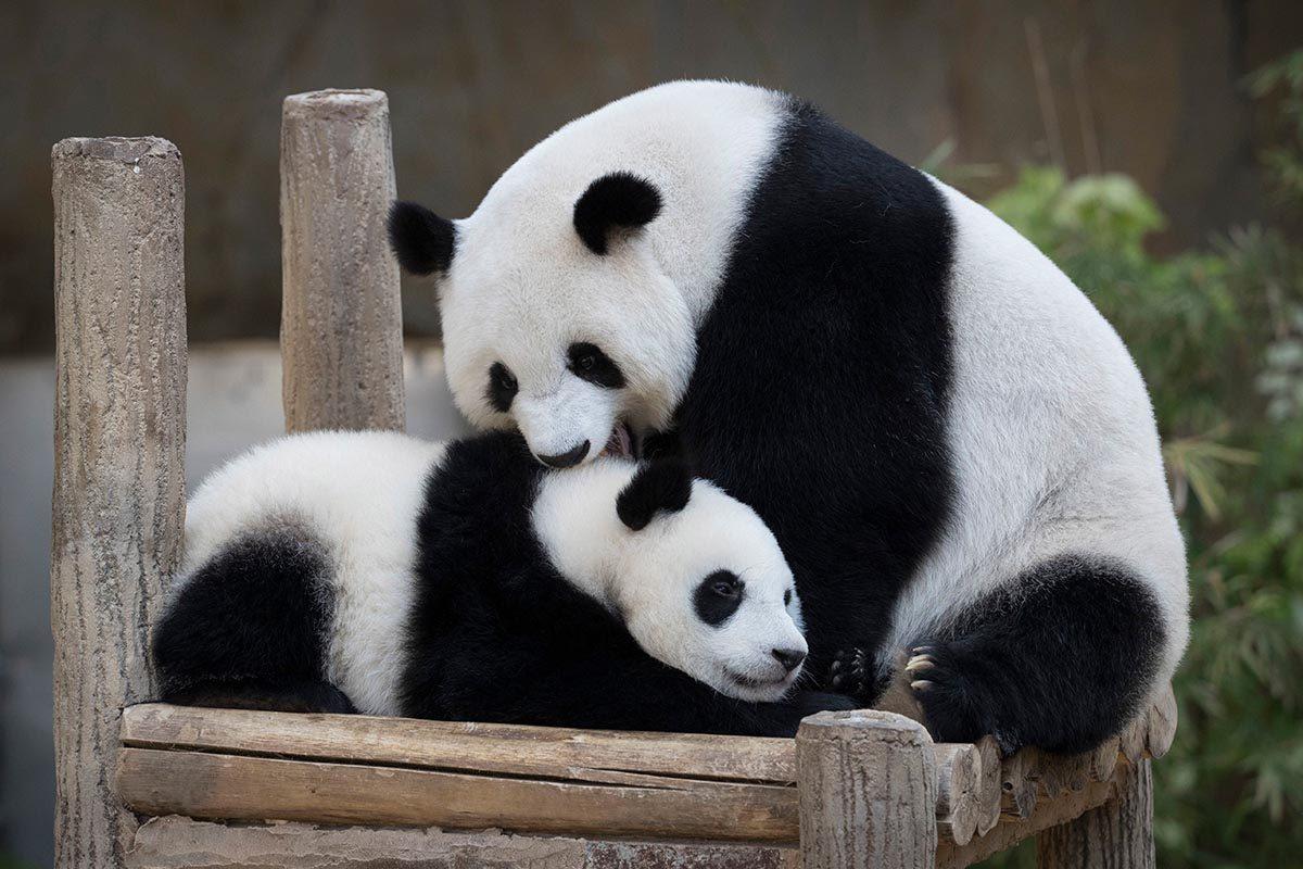 Espèces menacées : Panda géant
