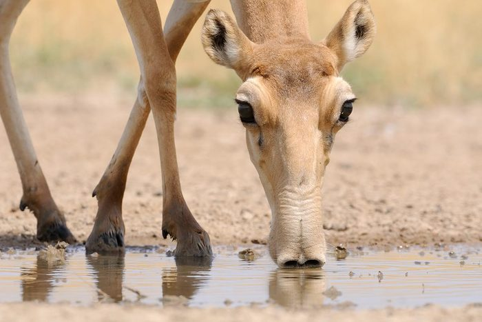 Espèces menacées : Antilope saïga