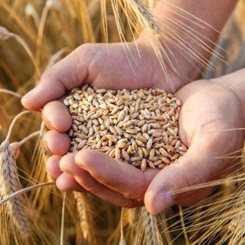 Blé entier ou grains entiers: quelle est la différence?