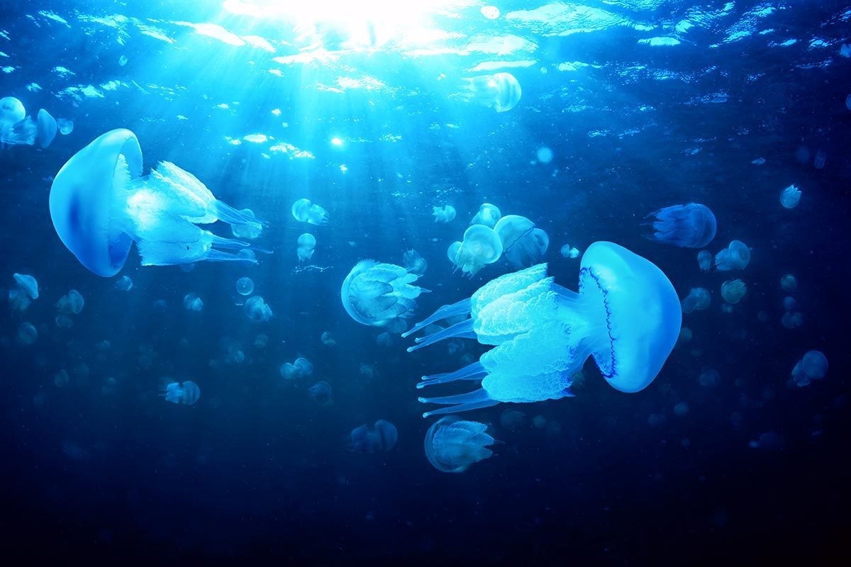 L'urine ne soulage par les piqûres de méduse.