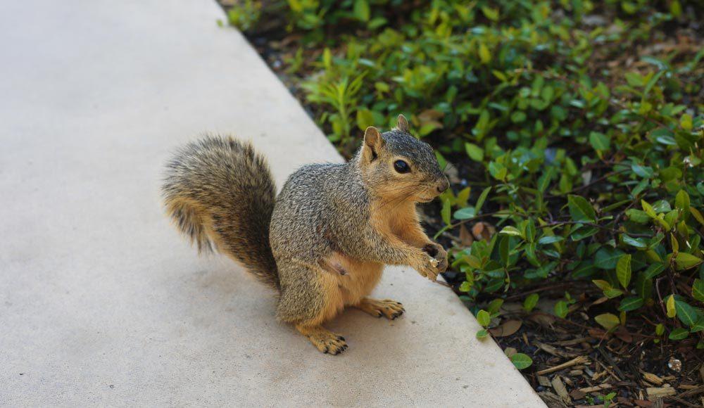 Explications : pourquoi les écureuils se pourchassent-ils les uns les autres?