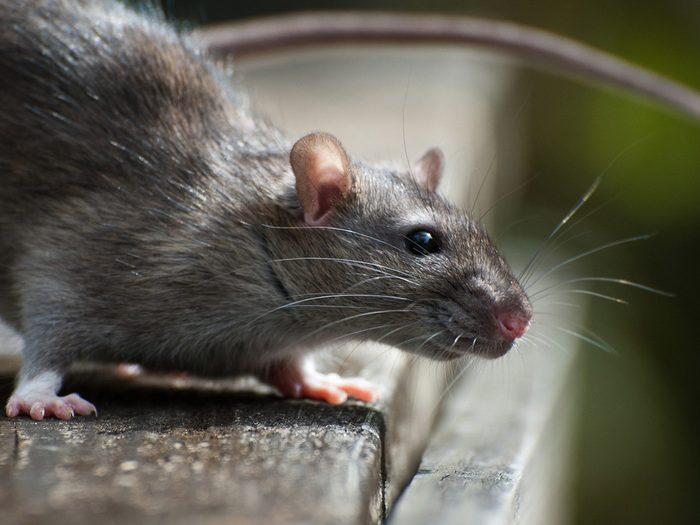 Fait scientifique: les rats rient quand on les chatouille.