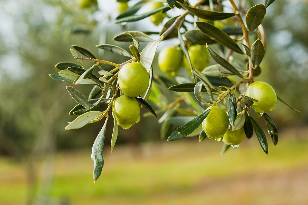 L'huile d'olive aide à préserver la santé des os.