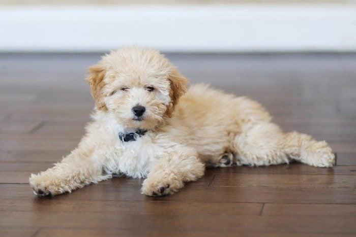 Noms populaires pour un chiot : Teddy