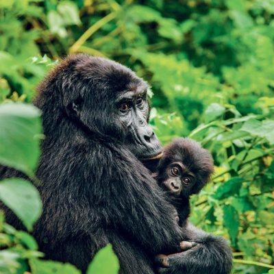 Un gorille de montagne et son petit.