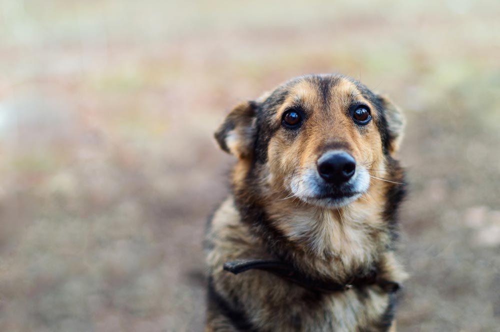 Des affaires criminelles peuvent être résolues grâce à des poils de chien.