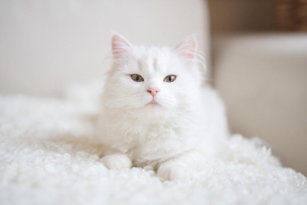 Des affaires criminelles peuvent être résolues grâce à des poils de chat.