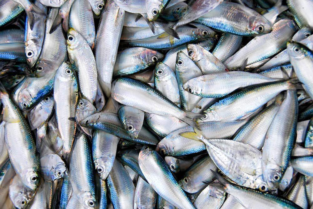 Source de protéines : les sardines en boîte.