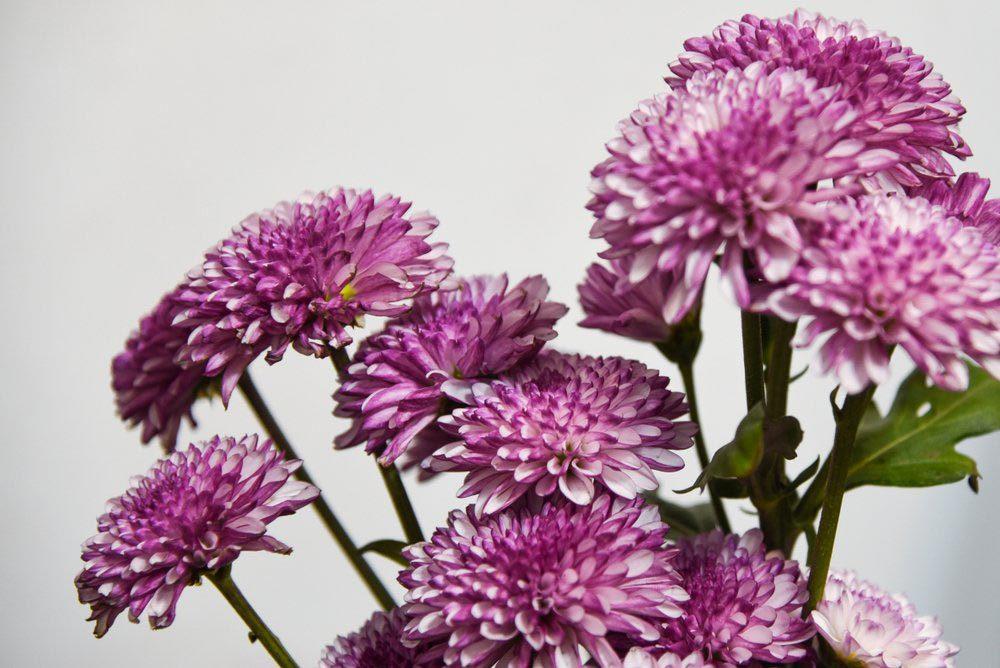 Purifier l'air avec le Chrysanthème des fleuristes.