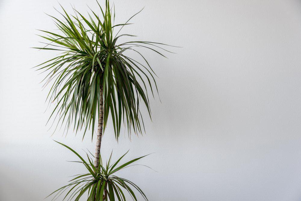 Purifier l'air avec le dragonnier parfumé ou dragonnier d'Afrique tropicale.