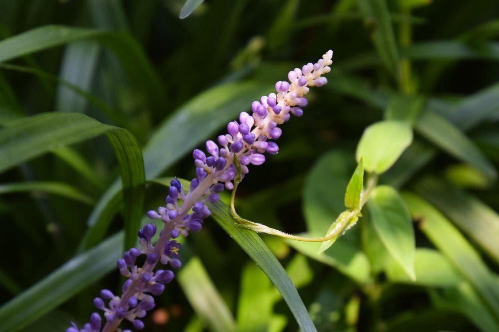 Purifier l'air avec le Liriope spicata.
