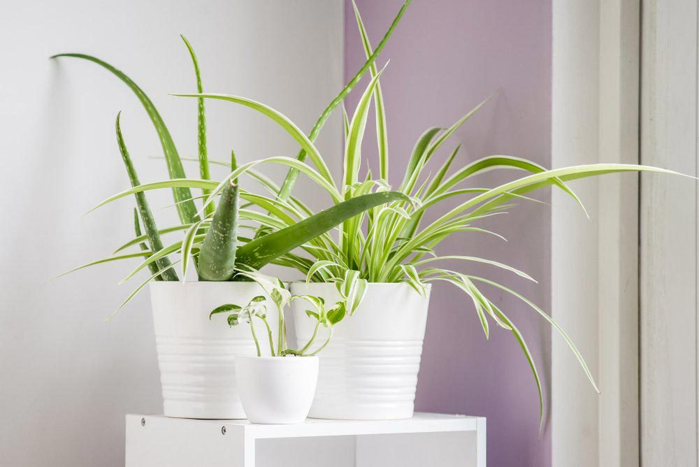 Pour purifier l'air, utilisez des plantes en pot.