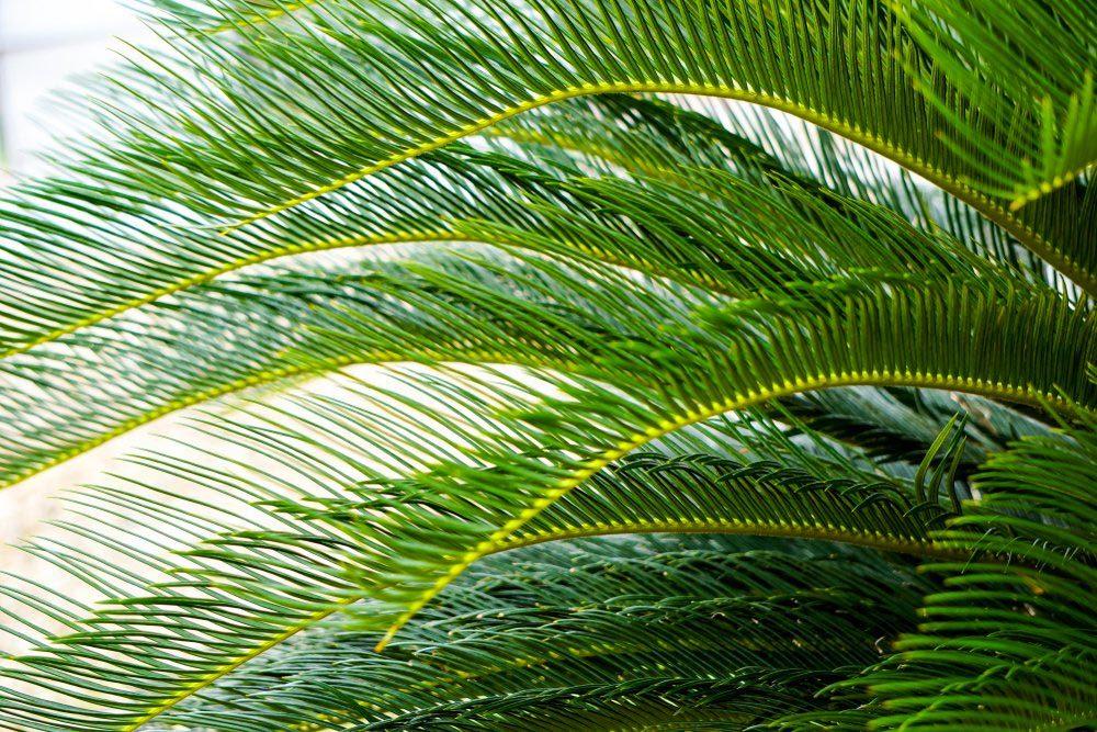 Purifier l'air avec le palmier dattier nain.