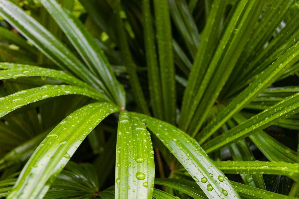 Purifier l'air avec le palmiste multipliant.