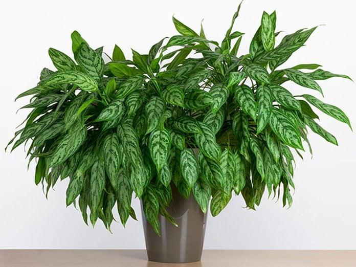 L'aglaonème est l'une des meilleures plantes pour purifier l'air.