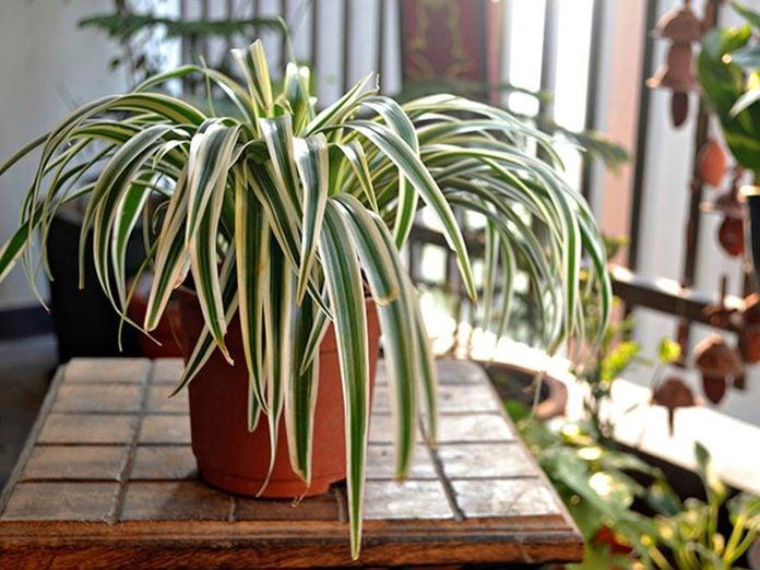 Le chlorophyton chevelu est l'une des meilleures plantes pour purifier l'air.