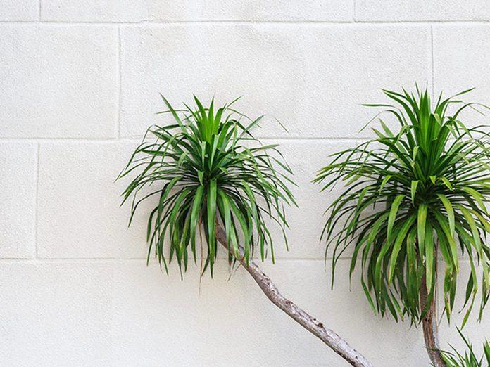 Le dragonnier parfumé est l'une des meilleures plantes pour purifier l'air.