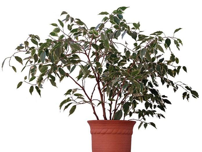 Le figuier pleureur est l'une des meilleures plantes pour purifier l'air.