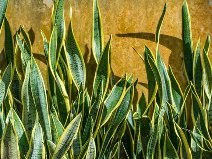 La langue de belle-mère est l'une des meilleures plantes pour purifier l'air.