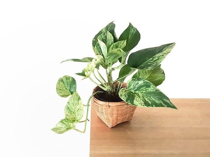 Le lierre du diable est l'une des meilleures plantes pour purifier l'air.