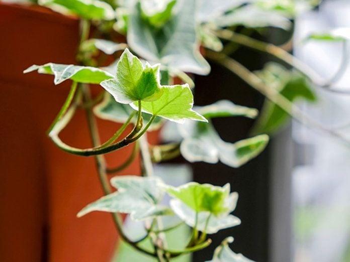 Le lierre grimpant est l'une des meilleures plantes pour purifier l'air.