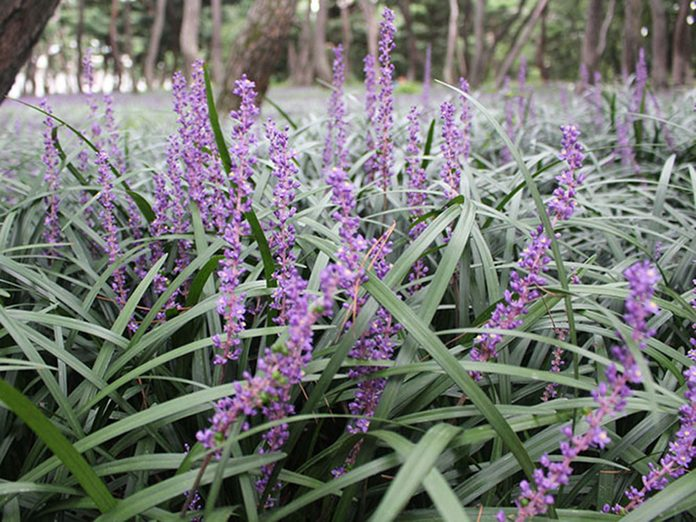 La liriope spicata est l'une des meilleures plantes pour purifier l'air.