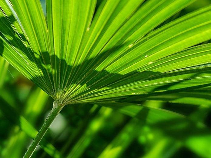 Le palmiste multipliant est l'une des meilleures plantes pour purifier l'air.
