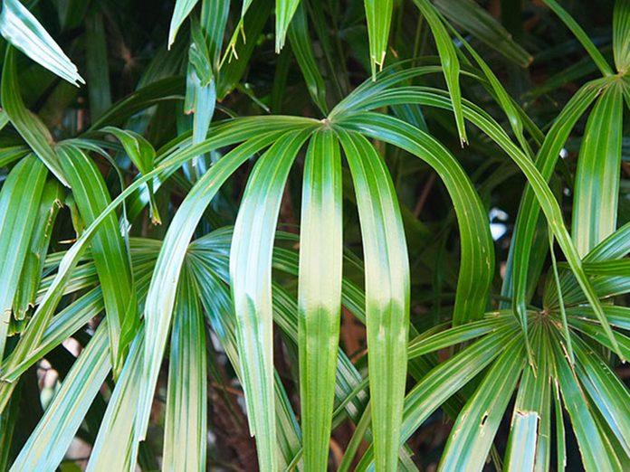 Le rhapis excelsa est l'une des meilleures plantes pour purifier l'air.