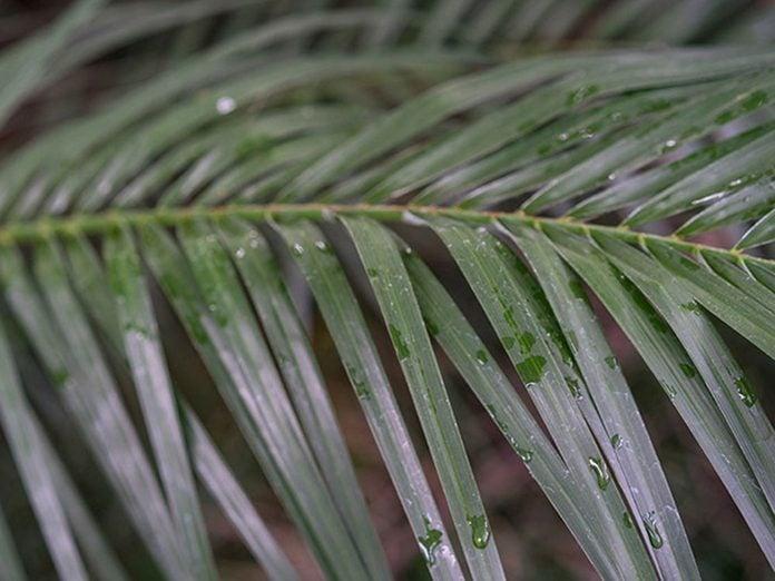 Le palmier dattier nain est l'une des meilleures plantes pour purifier l'air.