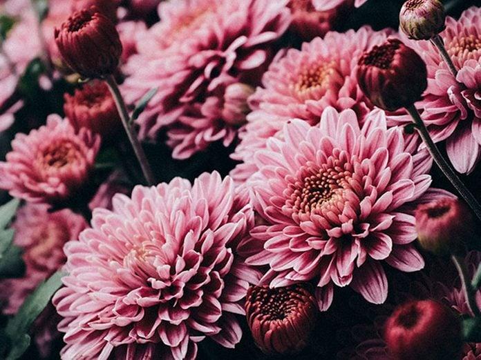 La chrysanthème des fleuristes est l'une des meilleures plantes pour purifier l'air.