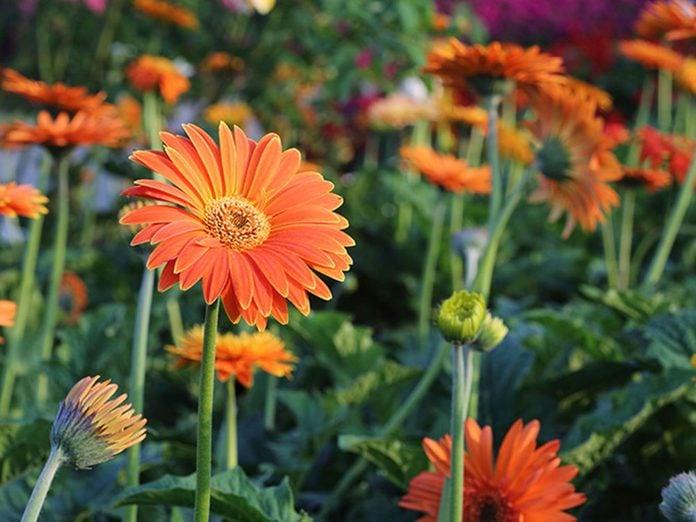 La gerbera est l'une des meilleures plantes pour purifier l'air.