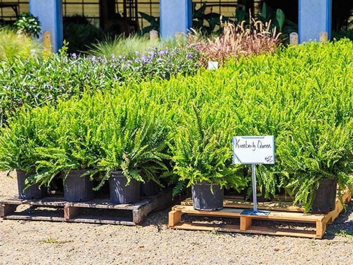 La fougère reine de Kimberley est l'une des meilleures plantes pour purifier l'air.