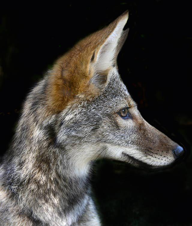 Bébé animaux : coyote de 8 semaines.