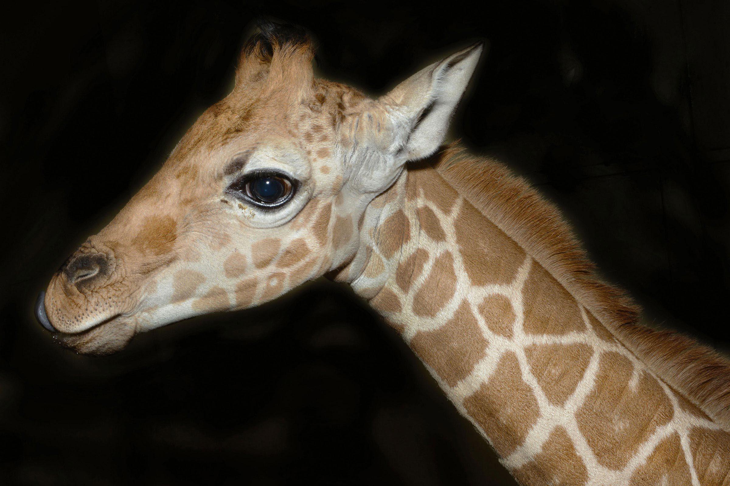 Bébé animaux : girafe de 5 semaines.