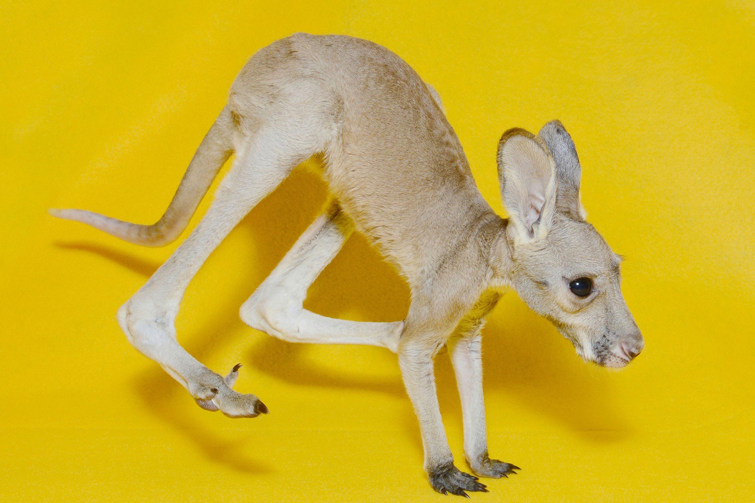 Bébé animaux : kangourou roux de 4 mois.