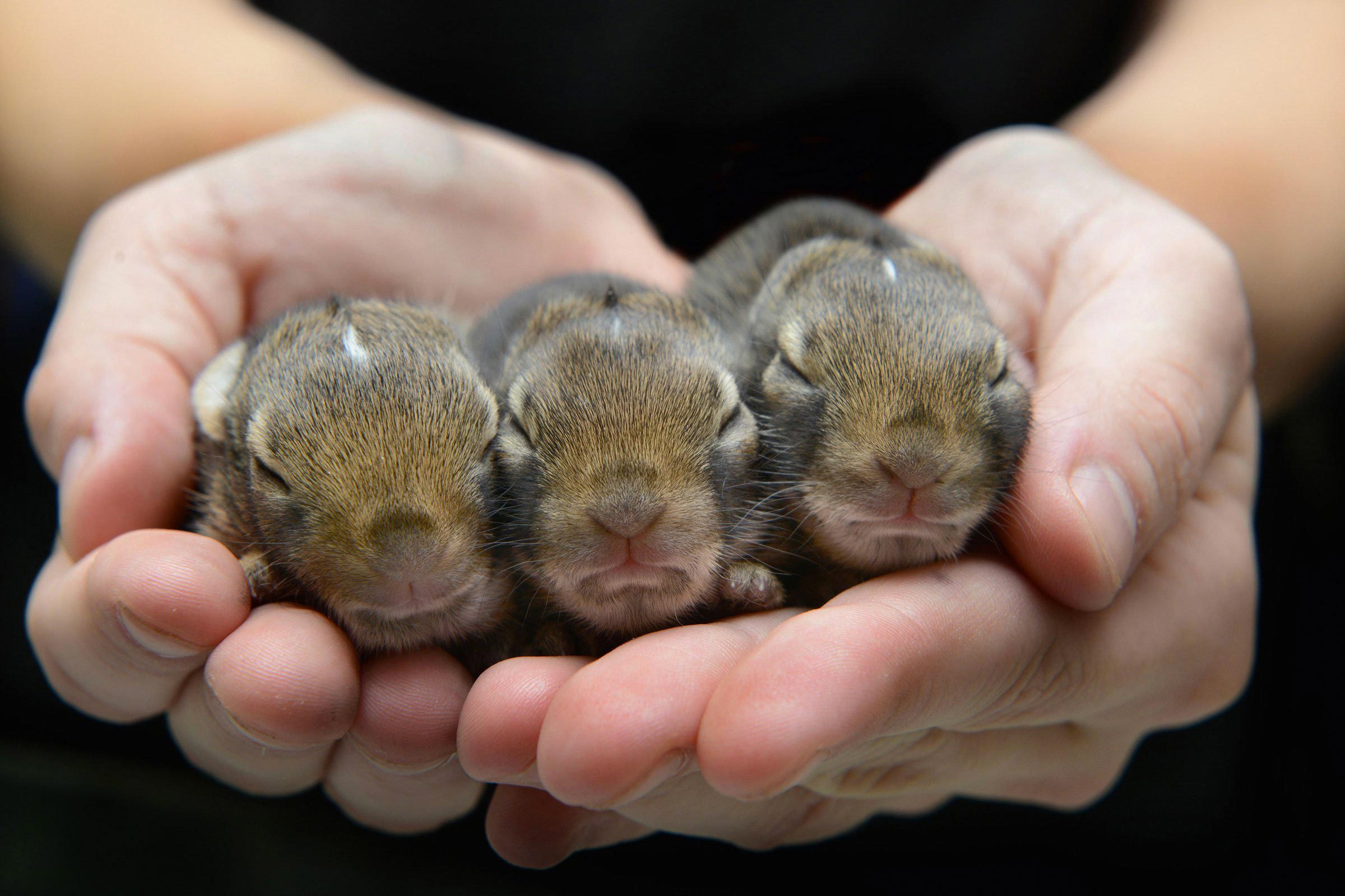 Bébé animaux : lapin à queue blanche de 10 jours.