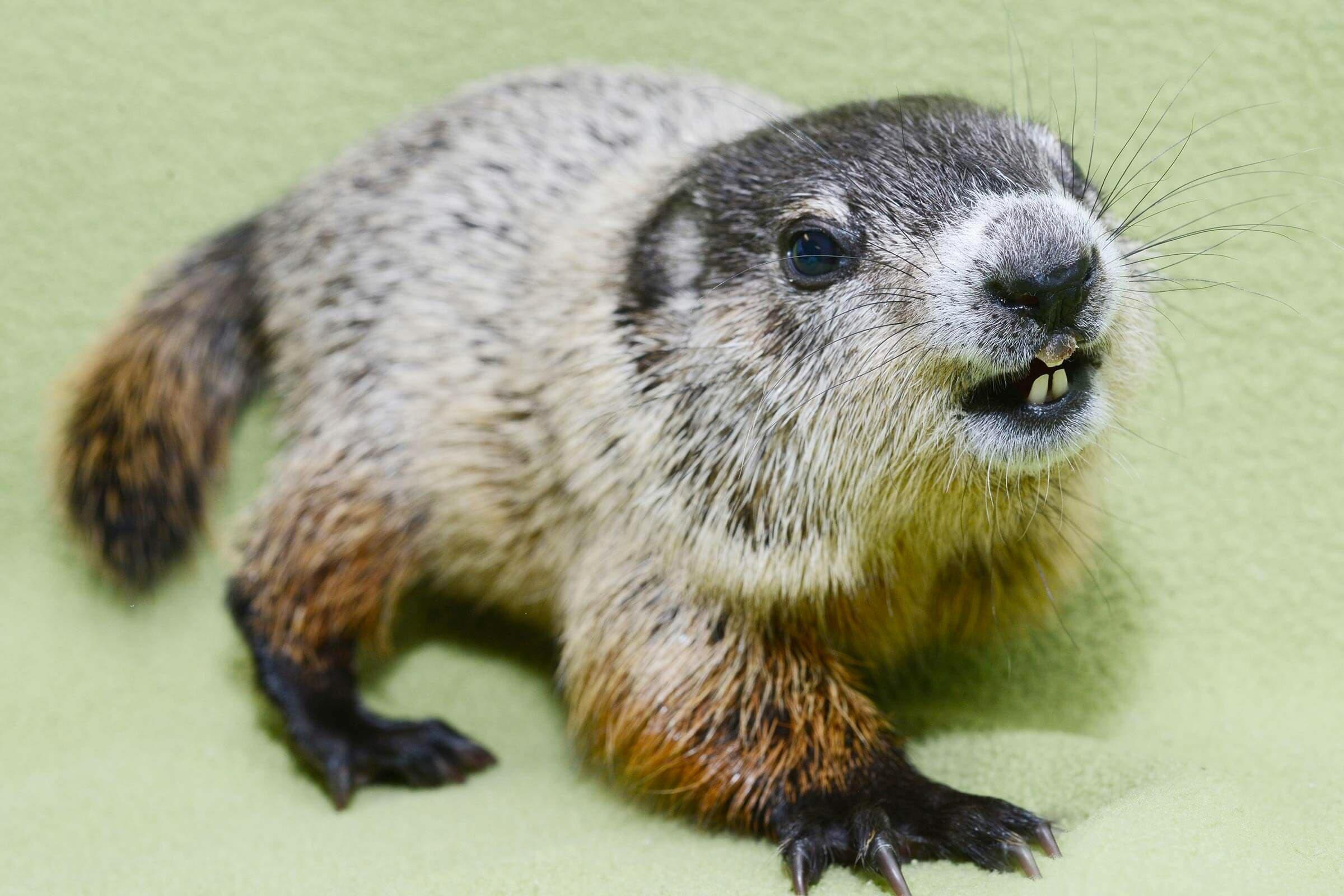 Bébé animaux : marmotte de 5 semaines.