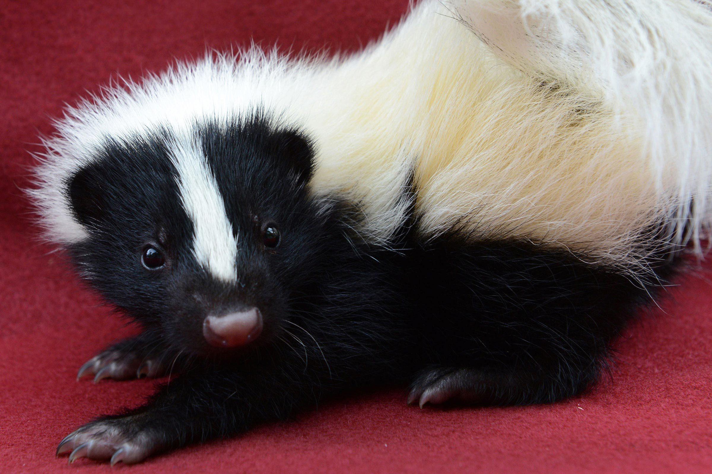 Bébé animaux : mouffette de 5 semaines.