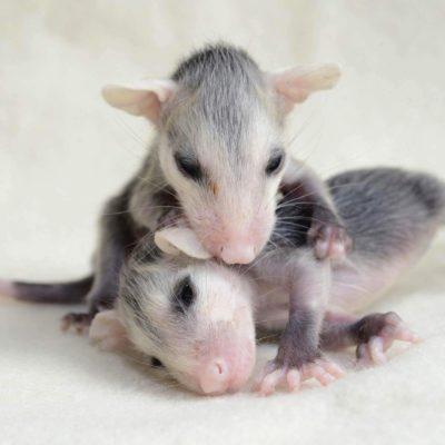 Bébé animaux : opossum de 4 semaines.
