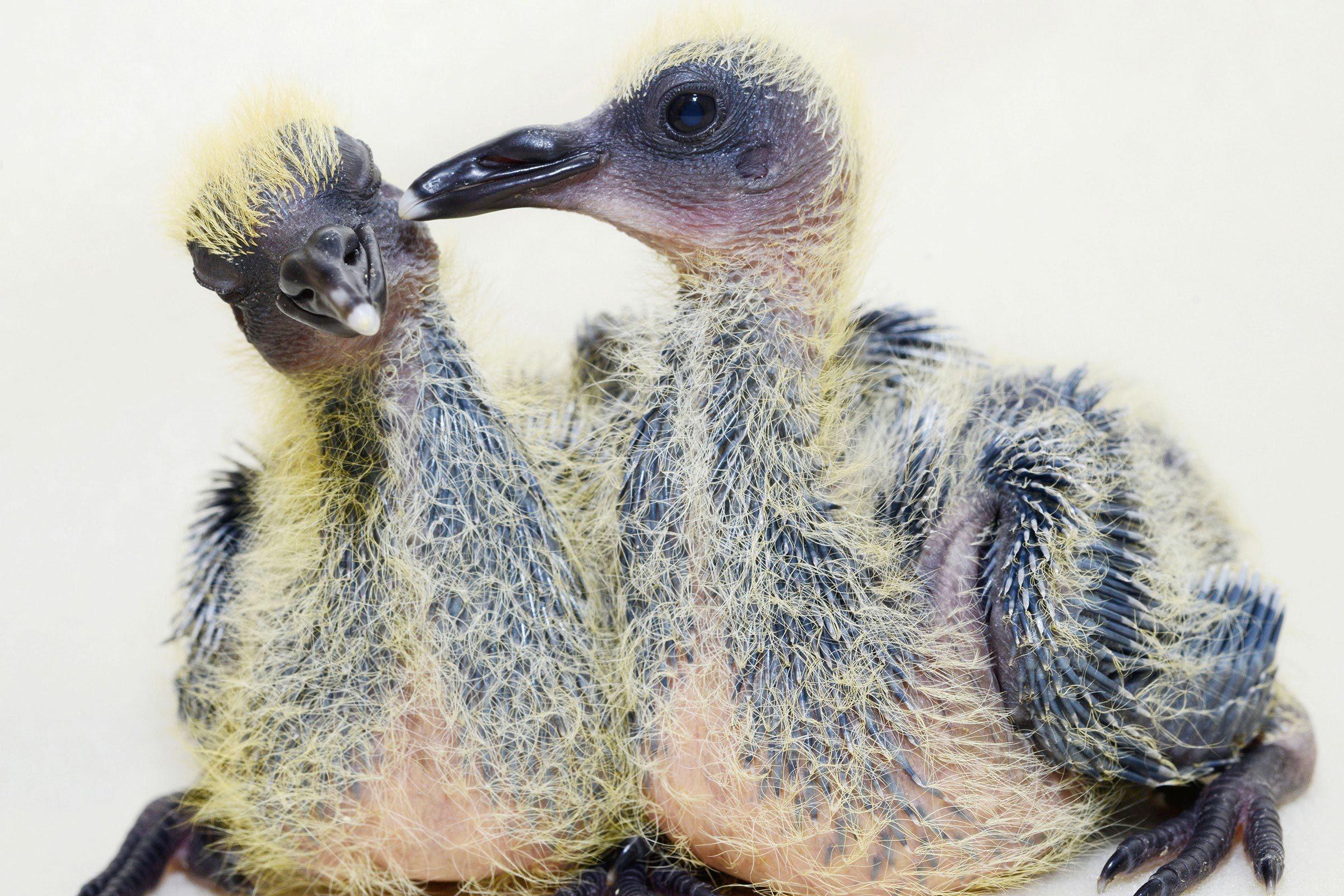 Bébé animaux : pigeon de 1 à 2 semaines.
