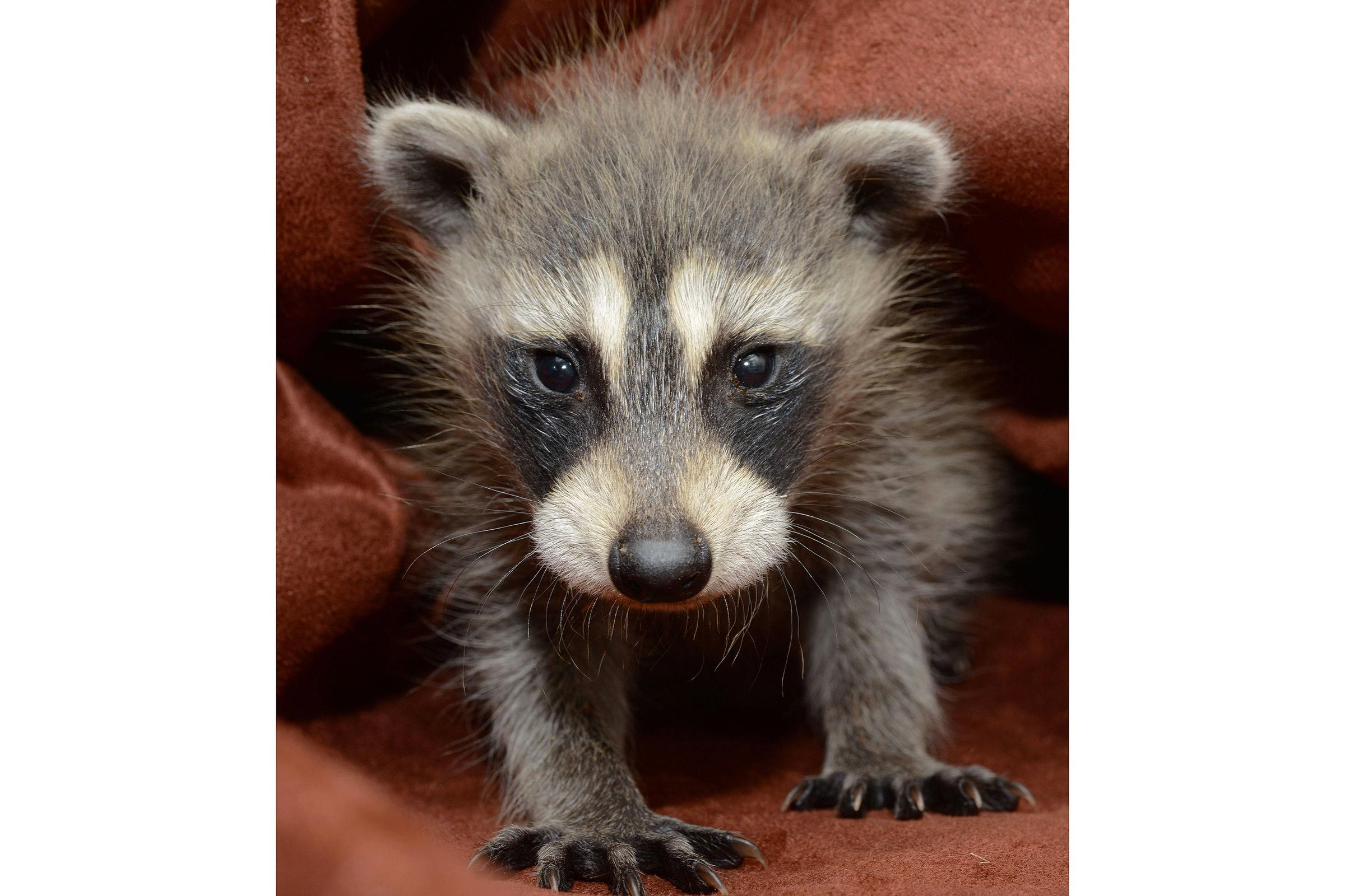 Bébé animaux : raton laveur de 4 semaines.